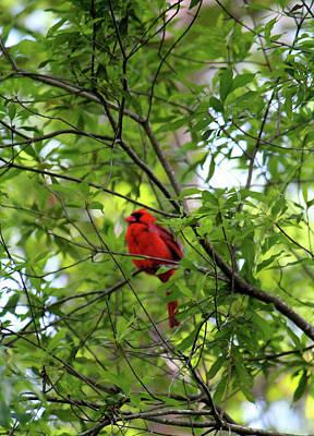 Photograph - Perched Cardinal by Cynthia Guinn