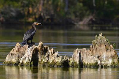 Photograph - Perched Cormorant by Carla Parris