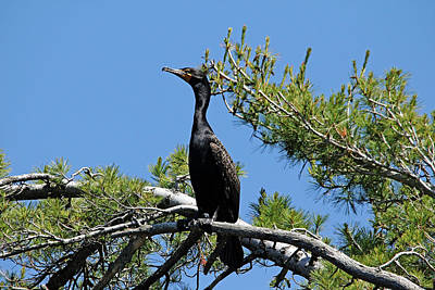 Photograph - Perched Cormorant by Debbie Oppermann