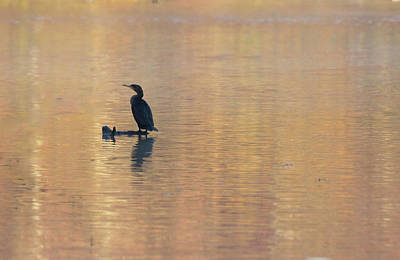 Belmont Lake State Park Wall Art - Photograph - Perched Cormorant by Joan D Squared Photography