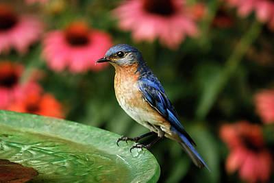 Bird Watcher Photograph - Perched Eastern  Blue Bird by Darren Fisher