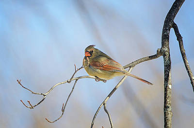 Photograph - Perched Female Cardinal by Susan McMenamin