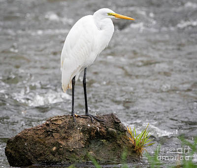 Photograph - Perched Great Egret by Ricky L Jones