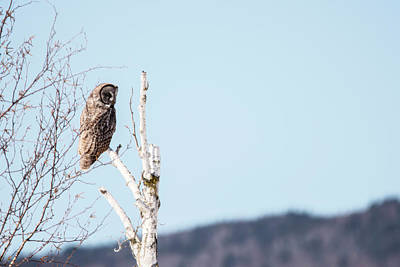 Photograph - Perched Great Grey Owl by Tracy Winter