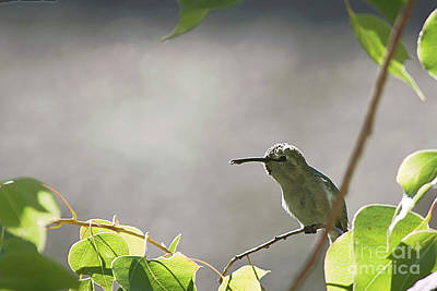 Photograph - Perched Hummer by Anne Rodkin