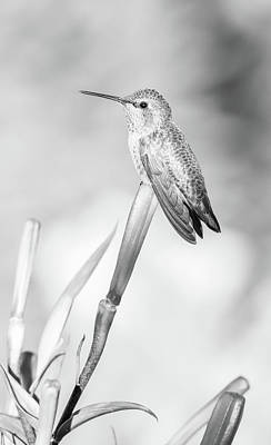 Photograph - Perched Hummingbird Black And White by Athena Mckinzie
