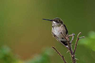 Photograph - Perched Hummingbird by Paul Freidlund