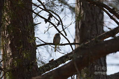Photograph - Perched In The Pines by Maria Urso