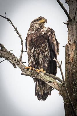 Bif Photograph - Perched Juvenile Eagle by Paul Freidlund