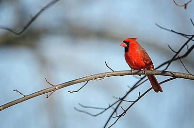 Photograph - Perched Male Cardinal by Susan McMenamin