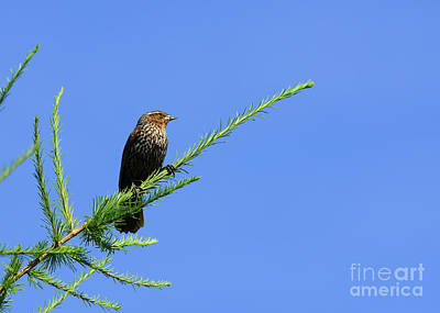 Photograph - Perched On A Tamarack by Robin Clifton