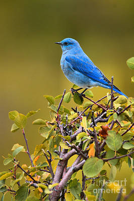 Photograph - Perched On The Berry Branch In Teton by Adam Jewell