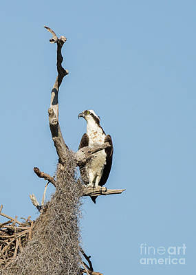 Photograph - Perched Osprey by Brad Marzolf Photography