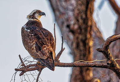 Photograph - Perched Osprey by David A Lane