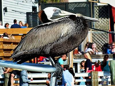Photograph - Perched Pelican by Christy Ricafrente