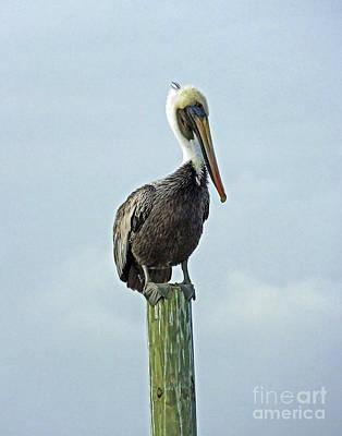 Photograph - Perched Pelican by Lizi Beard-Ward