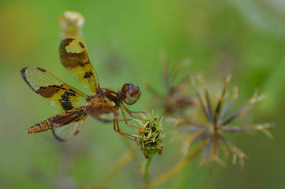 Celithemis Eponina Photograph - Perched Pennant by Don Columbus