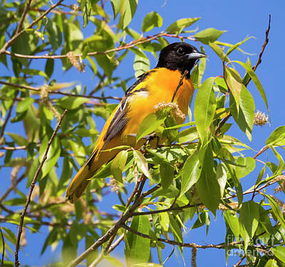 Photograph - Perched Proudly The Baltimore Oriole by Ricky L Jones
