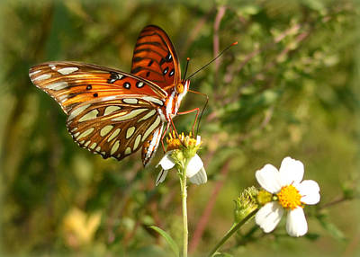 Photograph - Perched Gulf Fritillary by Carla Parris