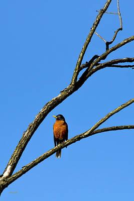 Photograph - Perched Bird American Robin by Christina Rollo