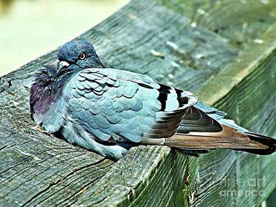 Photograph - Perched Rock Dove by Christy Ricafrente
