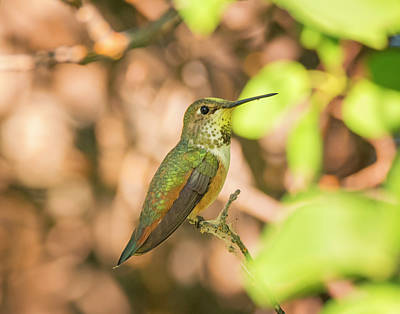 Photograph - Perched Rufous Hummingbird by Loree Johnson