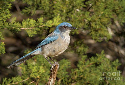 Photograph - Perched Scrub Jay by David Cutts
