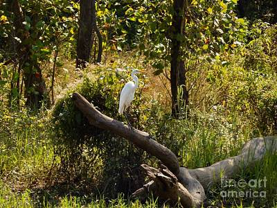 Photograph - Perched Snowy Egret by Chris Tarpening