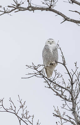 Perched Snowy Owl 2015-2 Art Print by Thomas Young