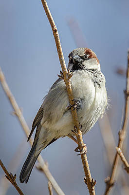 Photograph - Perched Sparrow by Susan McMenamin