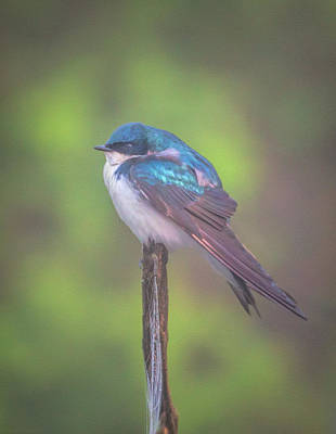 Wall Art - Photograph - Perched Tree Swallow by Martin Belan