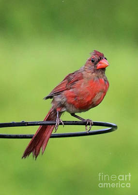 Photograph - Perched Young Cardinal by Carol Groenen
