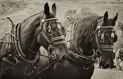 Photograph - Percheron Black Beauties by Theresa Tahara