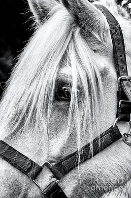 Draft Horses Photograph - Percheron Horse by Tim Gainey