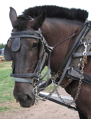 Draft Horses Photograph - Percheron In Harness by Laurie With