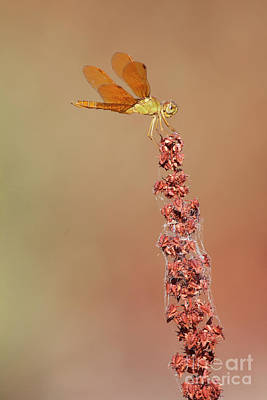 Photograph -  Perching Amberwing  by Ruth Jolly