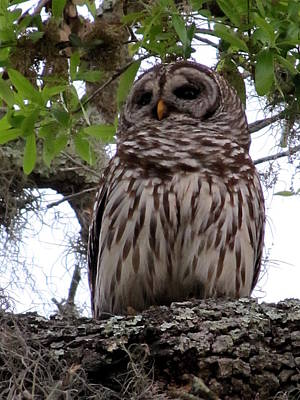 Photograph - Perching Barred Owl  by Chris Mercer