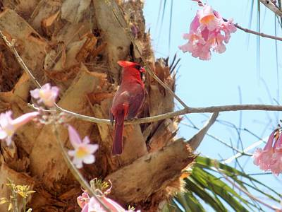 Valentines Day - Perching Cardinal by Sarah Barba
