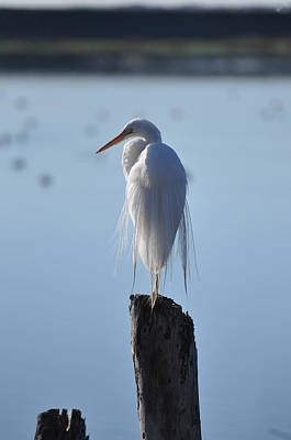 Photograph - Perching Egret by Matt MacMillan