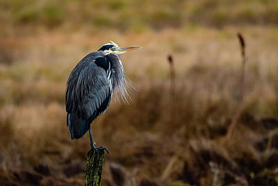 Photograph - Perching Great Blue Heron by Michael McAuliffe