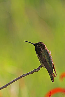 Kim Fearheiley Photography Royalty Free Images - Perching Hummingbird Royalty-Free Image by Juergen Roth