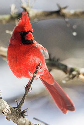 Photograph - Perching Mister Cardinal by Shelly Gunderson