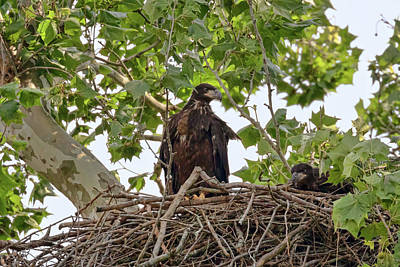 Photograph - Perching Practice by Susan Rissi Tregoning