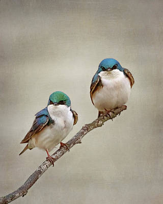 Photograph - Perching Tree Swallows by Susan Rissi Tregoning