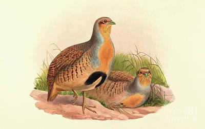 Partridge Painting - Perdix Barbata, Daurian Partridge by John Gould