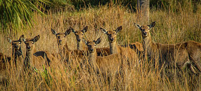 Photograph - Pere David's Deer Group by Richard Goldman
