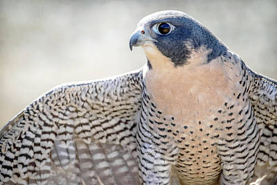 Photograph - Peregrine  by Angie Rea