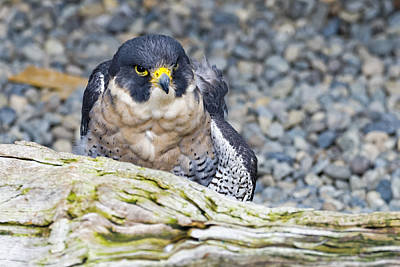 Photograph - Peregrine Falcon 1 by Harold Piskiel