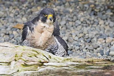 Photograph - Peregrine Falcon 2 by Harold Piskiel