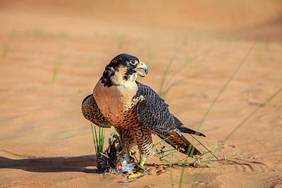 Classical Masterpiece Still Life Paintings - Peregrine Falcon by Alexey Stiop